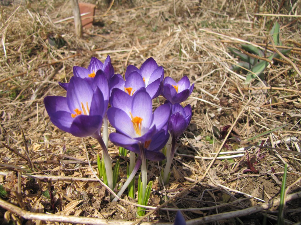 crocuses (or croci, if you prefer)